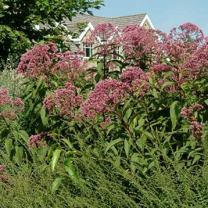 Eupatorium Gate Way