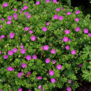 Geranium New Hamshire Purple
