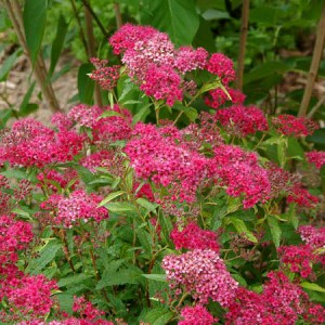 Spiraea Neon Flash